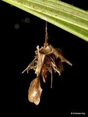 Case moth larva, Psychidae (Ecuador Megadiverso) Tags: andreaskay bagworm casemoth caterpillar ecuador jardinbotanicolasorquideas larva psychidae