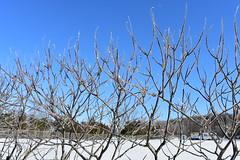 Janvier 2019-Josée Ferland-Sentier de l'esplanade (Josée Ferland) Tags: hiver québec canada verglas arbustes glace