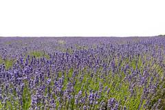 DSC_9200-1 (aehnattapol) Tags: france lavender building shop landscape uk england europe eifel farm blue sky green