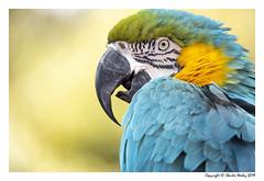 Chilly Blue & Yellow Boy (wesjr50) Tags: sonyrx10m4 carl zeiss 24600mm parrots blue yellow macaw captivemacaw naturewildlife naturallightphotography staugustinealligatorfarm staugustineflorida f244
