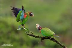 Brown-hooded Parrot (www.NeotropicPhotoTours.com) Tags: essenceofcostarica juancarlosvindas neotropicphototours costarica birdphotography brownhoodedparrot pyriliahaematotis parrots fighting