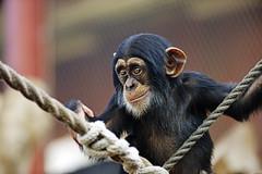 Schimpanse (Michael Döring - thx for 20.000.000 views) Tags: gelsenkirchen bismarck zoomerlebniswelt zoo schimpanse chimpanzee afs70200mm28g d800 michaeldöring