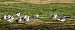 Mouettes au sol (thierrybalint) Tags: mouettes borely marseille nikon nikoniste balint thierrybalint grass bird park