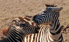 zebra Burgerszoo 094A1578 (j.a.kok) Tags: zoogdier zebra burgerszoo burgerzoo grantzebra mammal dier animal africa afrika
