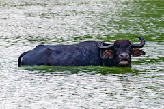 YOBEL_2018-04-26-LKA_4630.jpg (yobelprize) Tags: 2018 lka safari nature nationalpark yobelmuchang srilanka bison animal nikond850 water bellow waterbuffalo mammal buffalo swim outdoors nikon lush yobel udawalawe muchang uvaprovince lk