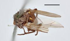 Aricia latifrons Zetterstedt, 1845 (Biological Museum, Lund University: Entomology) Tags: zetterstedt diptera anthomyiidae aricia latifrons botanophila mzlutype00486 taxonomy:binomial=aricialatifrons