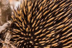 Echidna close up of quills (crispiks) Tags: animals echidna quills chiltern north east victoria bartleys block mount pilot national park nikon d500 200500 f56