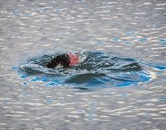 Bufflehead dive (Goggla) Tags: centralpark bufflehead duck nyc new york manhattan central park urban wildlife bird male diving dive