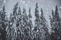 Dreaming trees (petrapetruta) Tags: pines forest snowing winter blurry bokeh
