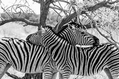 Black&Stripes (Lux Animae) Tags: namibia etosha zebra blackwhite