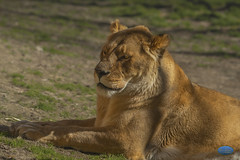 Lioness Stare 2019 (TheArtOfPhotographyByLouisRuth) Tags: lioness lion cat wildlife wildlifephotos zooanimals zoo zooboise zoosaroundtheworld supremeimages artofimages wildearth