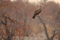 Tawny Eagle (brian_stoddart) Tags: wildlife wildanimals bird raptor dry trees colours tint natural nature namibia africa