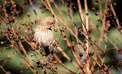 House Finch (A Screaming Comes Across the Sky) Tags: bird telephoto nikon d7000 sigma wildlife house finch finches ornithology birdwatching