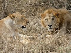 East African lion  - Panthera leo melanochaita (Linda DV) Tags: serengeti serengetinationalpark felidae vulnerableiucn31 lindadevolder travel africa tanzania 2018 nature geotagged fauna flora pantheraleomelanochaita africanlion carnivora