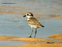 IMG_0218 Kentish Plover (Charadrius alexandrinus) (vlupadya) Tags: greatnature animal bird aves fauna indianbirds kentish plover charadrius kundapura karnataka
