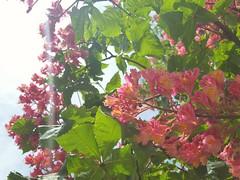 Aesculus x carnea (Iggy Y) Tags: aesculusxcarnea aesculus carnea spring blossom flower red color flowers green leaves nature plant crvenocvjetnikesten kesten redhorsechestnut chestnut sunny day light sky cloud