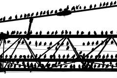 Storni - Starlings (Jambo Jambo) Tags: sturnusvulgaris storni starlings uccelli birds grosseto maremma toscana tuscany italia italy jambojambo birdwatching cacciafotografica sonydscrx10m4 bianconero blackwhite bn bw gru