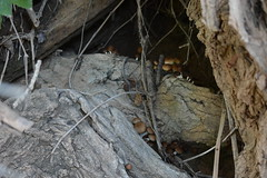 Setas en tronco de chopo (esta_ahi) Tags: montsarra bolets setas fungi pollancre chopo populusnigra salicaceae riera torrentdelsllims torrellesdefoix penedès barcelona spain españa испания