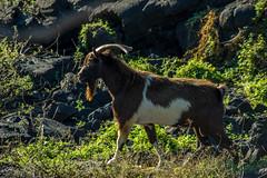 Feral Goat (agasfer) Tags: 2018 hawaii thebigisland animals pentax k3 smcpentaxda145855300mmed honaunau 1871 trail hiking