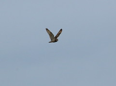 IMG_9853 (monika.carrie) Tags: monikacarrie wildlife seo shortearedowl forvie scotland owl