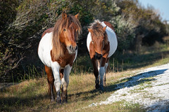 Ponies by the Road (daisyj85) Tags: wild ponies horses assateague island park nikon