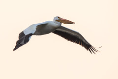 American White Pelican (oz-birds) Tags: americanwhitepelican birdsteatons moran wyoming unitedstates us