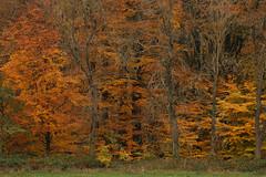 "Seasonal Artwork (""Daniel"") Tags: veluwe foveon forest woods landscape netherlands red fall trees"