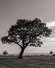 Tree Trio (raymorgan4) Tags: landscape trees tree fujifilm xt20 fujifilmglobal blackandwhite penarth south wales cymru three fuji 1855mm dogwalker outdoors sunshine autumn