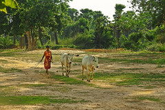 Homebound... (Lopamudra !) Tags: lopamudra lopamudrabarman lopa cow animal portrait rural bengal westbengal ruralbengal bolpur santiniketan woman lady girl life livelihood forest green tree trees field sunset sundown evening twilight afternoon dusk philosophy landscape beauty beautiful peace