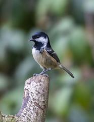 Coal Tit (6) (Mal.Durbin Photography) Tags: wildlifephotography maldurbin naturephotography wildbirds forestfarm nature naturereserve