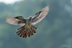 On The Wing (DanRansley) Tags: britain danransleyphotography danransleynet england greatbritain uk animal bird birding conservation feathers nature ornithology wildlife