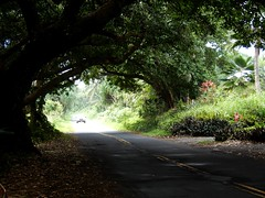 Arched Trees over Road (starmist1) Tags: trees arched roadway hawaiiisland auto daylight flowers november autumn