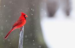red bird (bnbalance) Tags: cardinal red bird snow redbird
