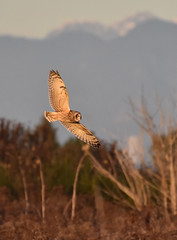 Inner span (Snixy_85) Tags: owl shortearedowl asioflammeus