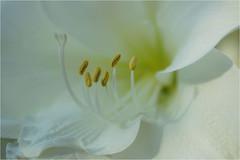 amaryllus (atsjebosma) Tags: amaryllus flower bloem white atsjebosma thenethelands macro details stampers 2018 coth ngc coth5 natureinfocusgroup npc