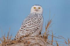 Snowy Owl (Kevin E Fox) Tags: snowyowl owl raptor islandbeachstatepark ibsp beach bird birding birdwatching birds birdofprey nature nikond500 nikon newjersey sigma150600sport sigma shorebirds shorebird