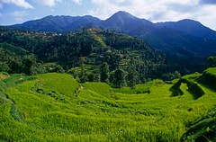 42-30089149 (Kedar Timalsina) Tags: agriculturalfield agriculture asia bagmati centralasia centralnepal crop cropland cultivating farming green irrigatedfield kathmandu kathmanduvalley ladder nepal oryza ricepaddy riceplant ruralscene terraced