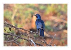 Choucador de Burchell - South Africa (FLL087) Tags: oiseau bleu afriquedusud southafrica nature bird