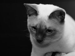 PC260899 (Vladimir V. Samoylov) Tags: 75mm animals bnw cat e5markii mzuiko75mmf18 m43 micro43 microfourthirdsmicro43 mono monochrome olympus olympusm75mmf18 omd μ43