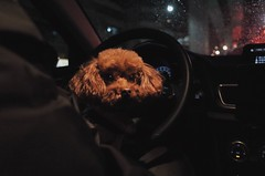 Just like sitting on the driver's seat (TAIPEI TAIWAN) (Wan.L) Tags: dark view nightview night brown black 車 紅貴賓 貴賓 台灣 プードル 犬 リコー grii ricoh sister cute poodle puppy dog doggy taiwan