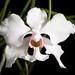 [Thailand] Papilionanthe vandarum (Rchb.f.) Garay, Bot. Mus. Leafl. 23: 372 (1974)