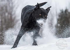 Picture of the Day (Keshet Kennels & Rescue) Tags: adoption dog ottawa ontario canada keshet large breed dogs animal animals pet pets field nature photography winter snow black drug lab play bozo crazy wide eyed eyes fun bound powder