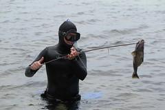Spearing Taug, May 31, 2018 (Travels by Terrill) Tags: menemsha village spearfishing marthas vineyard ocean chilmark fishing newengland summer marthasvineyard