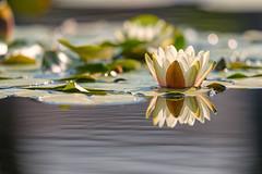 Water Lilies (mclcbooks) Tags: flower flowers floral waterlily waterlilies lilypad lilypads water reflections denverbotanicgardens colorado
