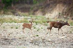 Hey You! (prashantadkoli) Tags: sambar deer talking wildlife nature canon safari corbett