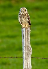 Short-eared Owl / Brandugla (Asio flammeus) (thorrisig) Tags: 29052018 asioflammeus brandugla dýr fuglar norðurland shortearedowl birdofprey raptor ránfugl ugla sigurgeirsson sigurgeirssonþorfinnur dorres iceland ísland island thorrisig thorfinnursigurgeirsson thorri þorrisig thorfinnur þorfinnur þorri þorfinnursigurgeirsson animals birds icelandicbirds íslenskirfuglar owl