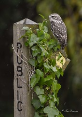 The right path. (maddiver58) Tags: little owl bird tp images workshop wildlife
