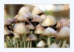 life in the mushroom patch 1 (overthemoon) Tags: switzerland suisse schweiz svizzera romandie vaud lausanne sauges mushrooms fungus fungi clumpsoftinymushrooms wild nature clumps clusters grass frame bokeh explore 336
