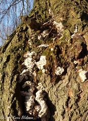 January 4th, 2019 Fungus growing on a Willow tree (karenblakeman) Tags: caversham uk tree willow fungus 2019 2019pad january reading berkshire bark