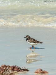 dsc9518-correlimos-menudo-calidris-minuta-en-la-playa-de-salary-madagascar_24783809698_o (Ramón Muñoz - Fotografía) Tags: madagascar fauna de animales parque nacional reserva playa salary correlimos menudo calidris minuta